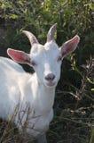 Cabra blanca Fotos de archivo