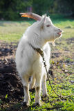 Cabra blanca Fotografía de archivo