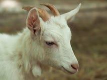 Cabra blanca fotografía de archivo libre de regalías