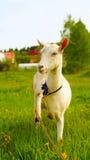 Cabra blanca atenta con la pierna aumentada foto de archivo libre de regalías