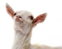 Cabra blanca divertida fotos de archivo