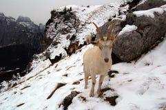 Cabra blanca en montaña Imagen de archivo libre de regalías