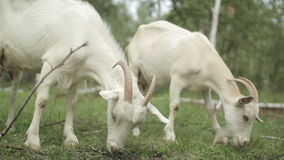 Cabra blanca en un prado metrajes
