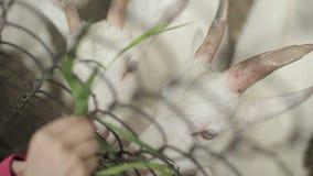 Cabra blanca en un prado almacen de video