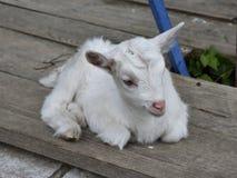 Cabra blanca linda del bebé que se sienta en un piso de madera Imagenes de archivo