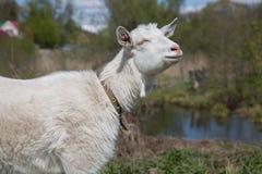 Cabra blanca linda que toma el sol el pueblo Imagen de archivo libre de regalías
