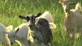 Cabra blanca que pasta en el campo Pequeña cabra en la cadena Cabra de la madre con la cabra, dos cabras almacen de metraje de vídeo
