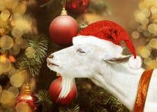 Cabra blanca que se sostiene en el sombrero de Papá Noel Foto de archivo
