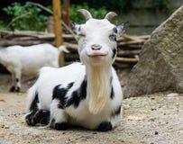 Cabra blanca que sonríe en la cámara imágenes de archivo libres de regalías