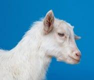 Cabra blanca - retrato Fotos de archivo