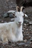 Cabra blanca Símbolo del Año Nuevo en el calendario del este Imágenes de archivo libres de regalías