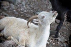 Cabra blanca Símbolo del Año Nuevo en el calendario del este Imagen de archivo
