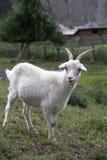 Cabra blanca Símbolo del Año Nuevo en el calendario del este Fotos de archivo