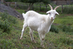 Cabra blanca Símbolo del Año Nuevo en el calendario del este Fotos de archivo libres de regalías