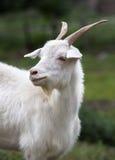 Cabra blanca Símbolo del Año Nuevo en el calendario del este Foto de archivo libre de regalías