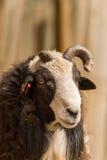 Cabra blanca y negra con el cuerno quebrado Fotos de archivo