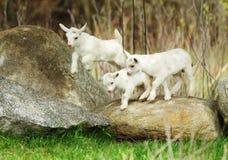 Cabra blanca y negra del bebé Imagenes de archivo