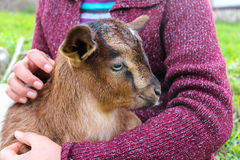 Cabra blanca y negra del bebé Imagen de archivo