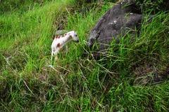 Cabra blanca y negra del bebé Fotografía de archivo