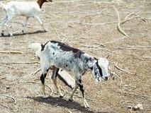 Cabra blanca y negra del bebé Fotos de archivo libres de regalías