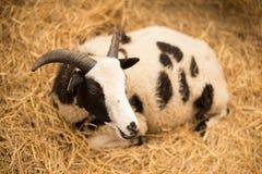 Cabra blanco y negro Fotos de archivo