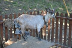 Cabra bonita situada em Santa Maria da Feira foto de stock