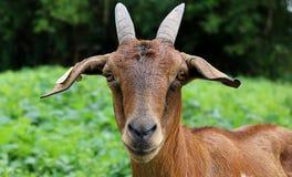 Cabra bonito Fotografia de Stock Royalty Free