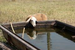Cabra bonito Foto de Stock Royalty Free