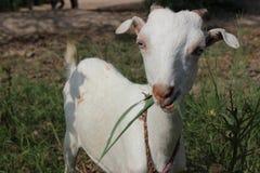 Cabra bonito do bebê foto de stock