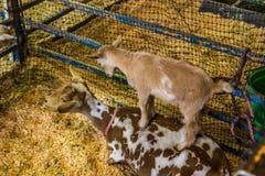 Cabra bonito do bebê que está em mães para trás Fotografia de Stock Royalty Free