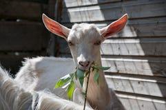 A cabra branca imagens de stock