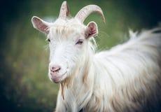 Cabra branca Fotografia de Stock Royalty Free