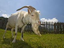 Cabra branca Imagem de Stock Royalty Free