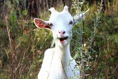 Cabra branca Fotografia de Stock
