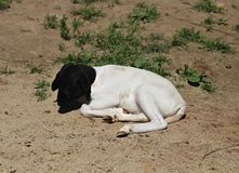Cabra branca com cabeça preta Imagens de Stock