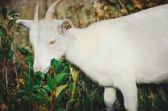 Cabra branca com chifres, close-up do leite imagem de stock royalty free