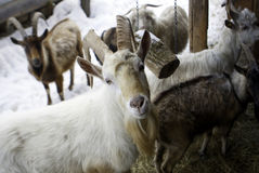 Cabra branca da multidão da cabra no pátio Imagem de Stock Royalty Free