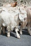 Cabra branca de kashmir da exploração agrícola indiana das montanhas Foto de Stock
