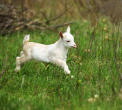 Cabra branca e preta do bebê Imagem de Stock Royalty Free