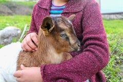 Cabra branca e preta do bebê Fotos de Stock