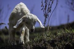 Cabra branca e preta do bebê Imagem de Stock