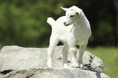 Cabra branca e preta do bebê Foto de Stock