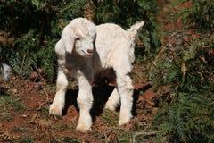 Cabra branca e preta do bebê Fotografia de Stock Royalty Free