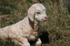 Cabra branca e preta do bebê Fotos de Stock Royalty Free