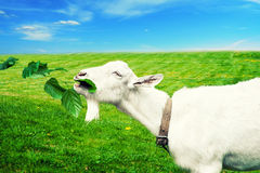 Cabra branca em um prado Foto de Stock Royalty Free