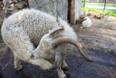 A cabra branca engraçada risca seu pé com seus dentes Fotos de Stock Royalty Free
