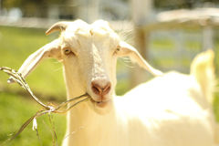 A cabra branca está comendo a grama Imagem de Stock