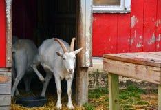 Cabra branca na entrada vermelha do celeiro Foto de Stock