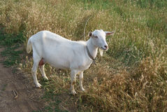 Cabra branca na estrada Fotografia de Stock