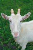 Cabra branca no gramado Fotografia de Stock Royalty Free